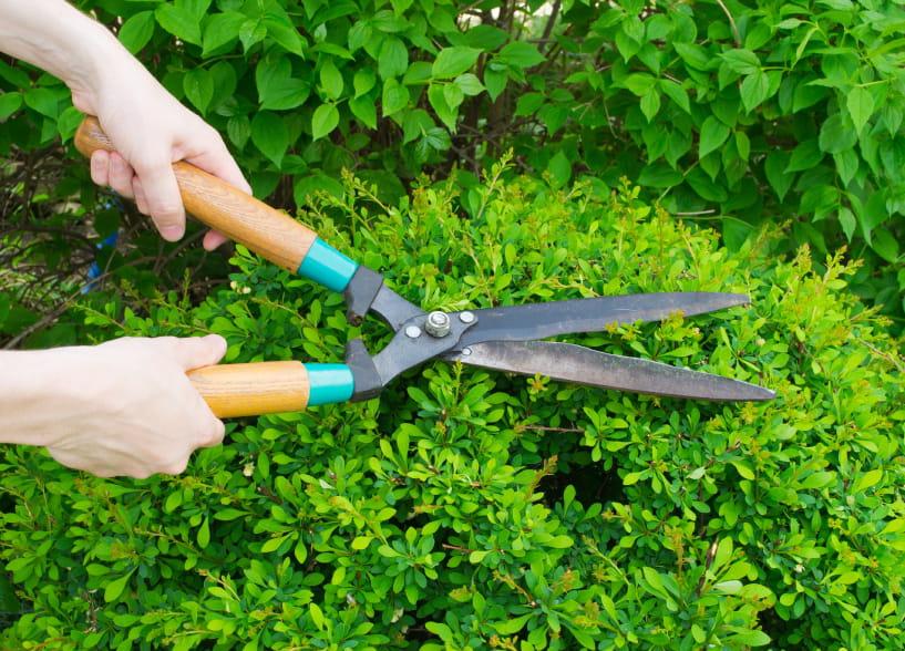 taille des haies et élagage des arbres du voisin