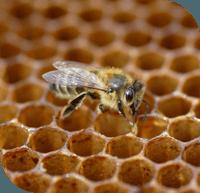 Un toit pour les abeilles : parrainez une ruche